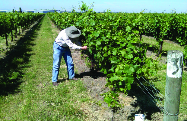 joe looking at vines