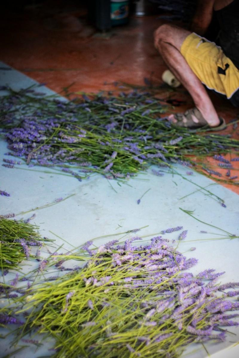 lavender cuts