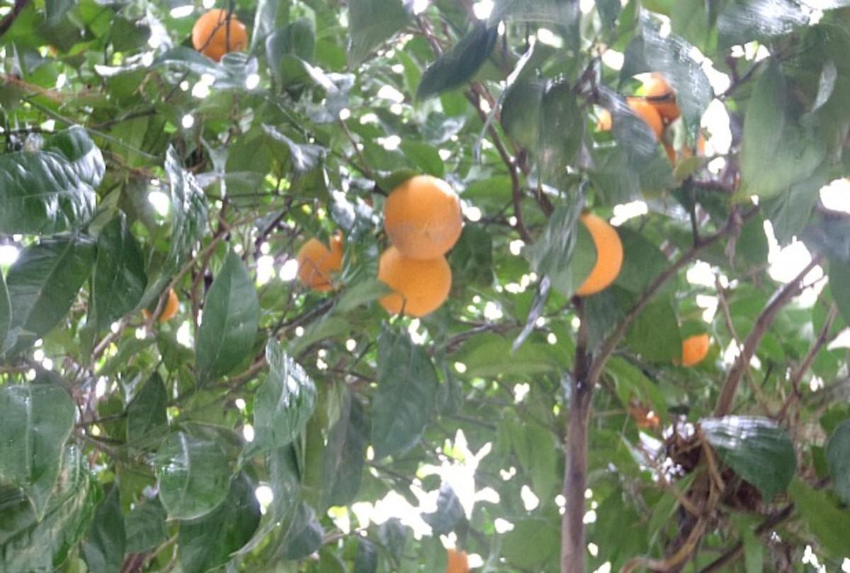 My Orange Tree