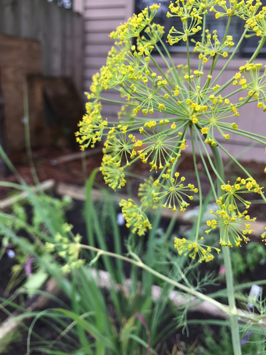 Fennel pollen at the ready. Yassssss!